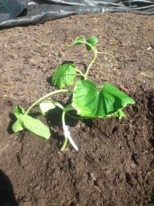 Eingepflanzt II