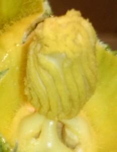 Stempel mit Pollen